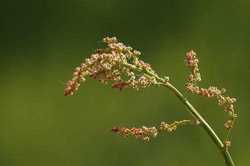 Rumex acetosa - veldzuring
