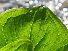 Skunk Cabbage Leaf