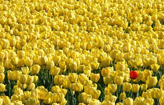 Yellow and Red Tulips - One in a million (scott photos) Tags: flowers red flower holland netherlands fleur dutch field yellow fleurs jaune landscape rouge tulips blossom champs nederland panasonic tulip bloom geel rood paysbas bloemen fz30 tulipe tulpen bloem tulp tulipes hollande yellowtulips yellowtulip redtulip abigfave anawesomeshot colorphotoaward byscottphotos