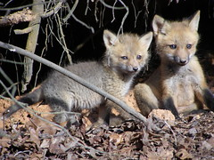 Baby Gray Foxes in their Lake View Den (Robert Lz) Tags: baby playing nature charlesriver explore fox cubs foxes foxhole lakelanier naturesfinest forsythcounty elzey supershot wilelife cumminggeorgia babyfoxes robertlz oldtownconoe graybabyfoxes