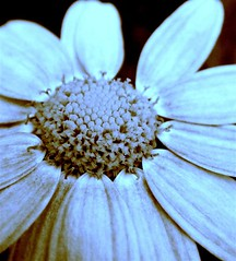 loves me not (*sapa*) Tags: blue flower daisy naturesfinest lovesmenot supershot explore478 colorphotoaward ultimateshot