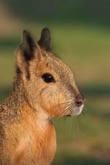 Mara Portrait (Andy Drake) Tags: wildlife mara specanimal animalkingdomelite