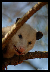 Grumpy Little Opossum (Lynn Roebuck) Tags: nature animals outdoors opossum hiking tennessee wildlife inatree marsupial mammals animalplanet zoology lynnroebuck