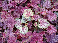 Stray Heuchera
