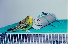 Toby and Lotje playing hide and seek (The Dutchlady) Tags: birds pets budgies parkieten green blue taiwan budgerigar 2003 lotje toby kaohsiung animal scanned parakeet vogel
