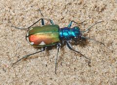 Cicindela scutellaris scutellaris x scutellaris lecontei 3 (tigerbeatlefreak) Tags: