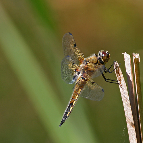 Dragonfly 2  -  Libelle 2