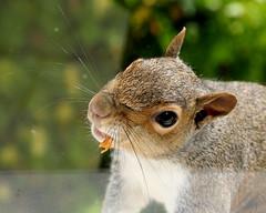 This is my pleading look! (catb -) Tags: animals squirrel squirrels feeding wildlife greysquirrel interestingness172 i500