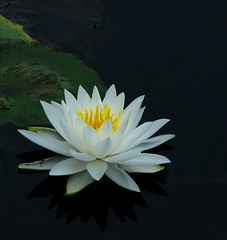 Torch (myruby) Tags: white flower water yellow pond lily lotus naturesfinest mywinners fabulousflowers citrit