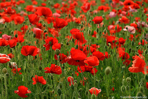 field of poppies / * Yumi *