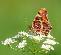 Vlinder (Truus) Tags: achterhoek vlinder sloot beltrum truus naturesfinest rondomhuis