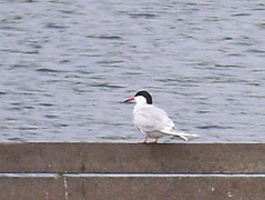 Common Tern on Canada Water