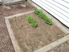 Carrots! May 07
