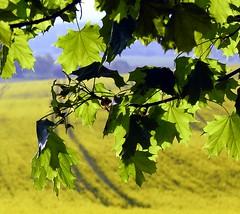 Green sun-blind (:Linda:) Tags: shadow field yellow germany landscape thüringen leaf corn ast branch village laub thuringia gelb twig mapleleaf blatt landschaft raps schatten canola rapeseed thuringian getreide ahorn zweig brünn ahornbaum baumblatt