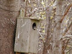titmouse in big birdhouse_01 (CapeCodAlan) Tags: birdseed titmouse ebirdseed capecodalan