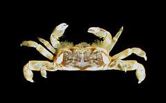 "Pinnixa tubicola, a small ""commensal"" pea crab, Bamfield, Vancouver Island (Arthur Anker) Tags: canada macro nature vancouver island marine pacific crab columbia sound british crabs pea crustacea barkley crustaceans bamfield symbiosis nortwest decapoda commensalism brachyura pinnotheridae"