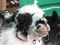 Llama teeth