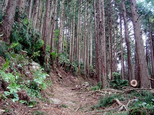 ヒノキ林│樹木│無料写真素材