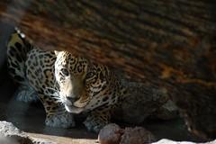 Jaguar (guppiecat) Tags: wallpaper cat zoo spot spots spotted jaguar henrydoorlyzoo