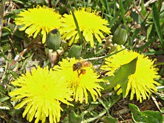 Help the bees. Leave your dandelions.