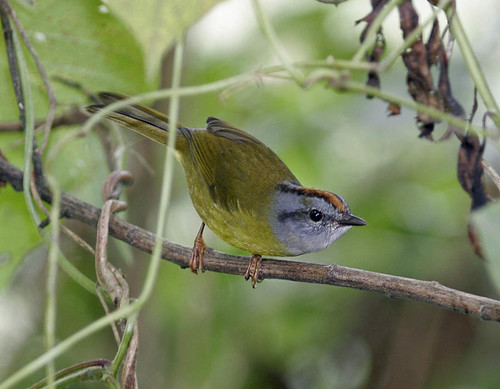 Russet-crowned Warbler by Pia's birdseye view.
