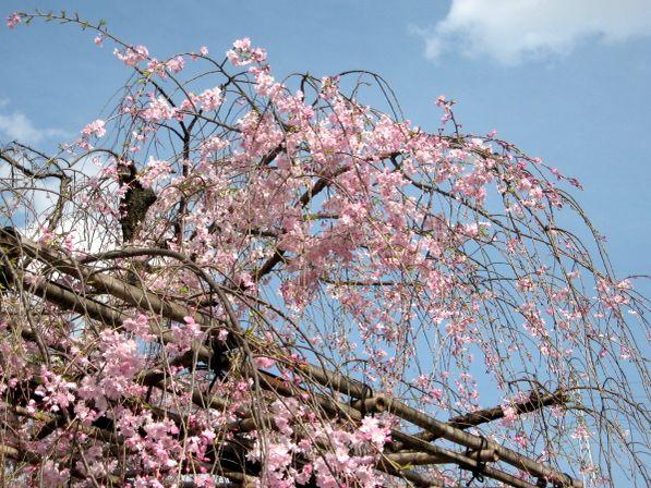 京都・城南宮31 桃山の庭4 さくら紅枝垂桜