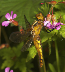 """Broad-Bodied Chaser (Libellula depressa) • <a style=""""font-size:0.8em;"""" href=""""http://www.flickr.com/photos/57024565@N00/501985870/"""" target=""""_blank"""">View on Flickr</a>"""