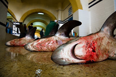 jaws 3 (lomokev) Tags: fish canon dead eos shark blood fishing floor ground morocco deaf 5d animales fishmarket essaouira pescados canoneos5d deletetag essaouirafishmarket file:name=img1043 rota:type=showall rota:type=composition rota:type=stilllife