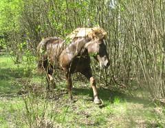Ville tulee pusikosta (valonsa) Tags: horse ravi trott hevonen