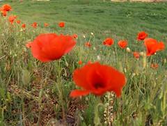 Poppies (Joe Shlabotnik) Tags: flowers france poppies 2007 april2007