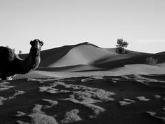 cuc !!!! (Monia Sbreni) Tags: africa travel bw monochrome animals sand desert camel morocco maroc marocco marruecos viaggi animali marokko biancoenero moroccan deserto marrocos sabbia questfortherest dromedario mhamid diamondclassphotographer sfidephotoamatori moniasbreni