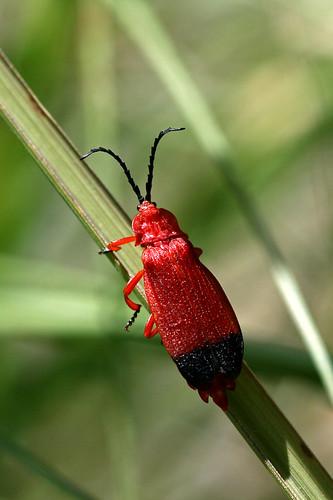 Red Bug II