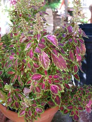 Coleus 'Aurora Black Cherry'