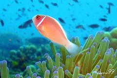 Pink Anemonefish - Koh Tao Island, Thaland