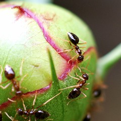 Ants (Wendine) Tags: macro 50mm nikon ants f4 extensiontube flowerbud d40
