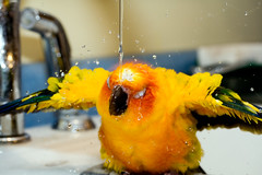 the water is fun (eva8*) Tags: bird water kitchen fun riley bath parrot faucet afterclass splash conure sunconure eva8 featheryfriday featheryfriday1 winnerflickrsweeklythemecontest