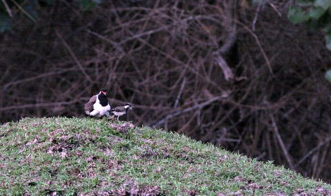 Lapwing and Chick