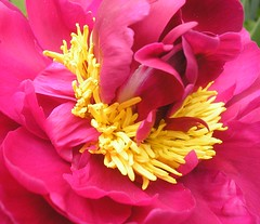 red tree peony - by Buttersweet - PLEASE REMEMBER OUR FRIENDS IN CHILE