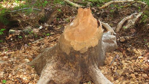 knawed stump