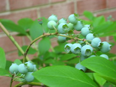 Blueberries - 5/30/07