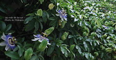 Passiflora caerulea Clock Flower#1 (sakura_chihaya+) Tags: passiflora osakaflower caerulea