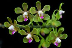Phalaenopsis stobartiana (Eric Hunt.) Tags: pink orchid flower green phalaenopsis orchidaceae phalaenopsisstobartiana