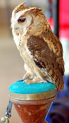 Indian Scops Owl (Otus lettia)
