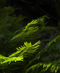 Dancing Ferns (MistyDays / CB) Tags: california copyright nature northerncalifornia vertical forest dancing pacific muirwoods marincounty redwoods ferns breeze pacificcoast swordfern verticalimage charleneburge stormygirl flickrgold charlenemburge copyrightcharlenemburge