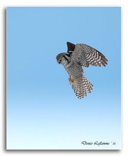 1E1A6643-DL   -   Chouette épervière / Northern Hawk Owl.