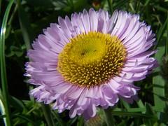 20070401 Seaside Daisy