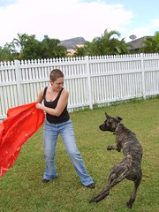 Boing! (robstephaustralia) Tags: dog cute puppy dante great mastiff dane bullfight toro matador