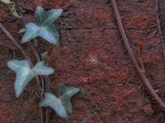 Ivy Climbing, Reinvigorated (moonbird) Tags: asheville aroundthehouse wnc sonydsch5
