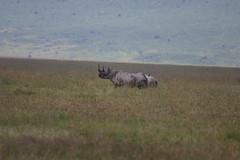 175. Black rhino, Ngorongoro Crater (James Cocker) Tags: tanzania ngorongorocrater blackrhino