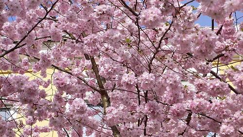 Kirschblüten in Hamburg St. Georg